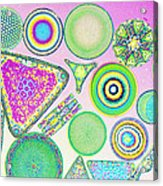 Lm Of Fossilized Diatoms Acrylic Print by M. I. Walker