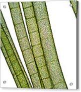 Lm Of Tubular Algae Acrylic Print