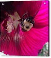 Loaded Bee Acrylic Print