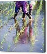 Local Planting Rice By Hand Acrylic Print