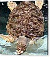 Loggerhead Sea Turtle Acrylic Print