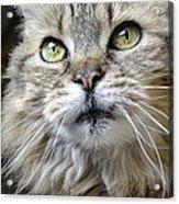 Lolas Whiskers Acrylic Print