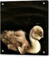 Lone Cygnet Acrylic Print by Isabella F Abbie Shores FRSA