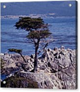 Lone Cypress By The Sea Acrylic Print