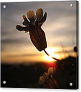 Lone Flower Acrylic Print by Victoria Hillman