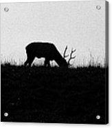 Lone Male Grazing On Top Of Hill. Acrylic Print
