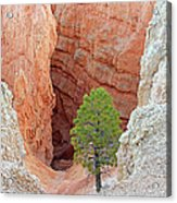 Lone Tree At Bryce National Park Acrylic Print