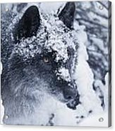 Lone Wolf In Snow Acrylic Print