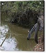 Lone Zebra At The Drinking Hole Acrylic Print