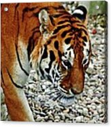 Lonely Tiger Acrylic Print