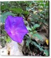 Lonely Violet Acrylic Print