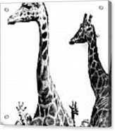 Long And The Short Acrylic Print