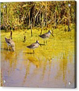 Long Billed Dowitchers Migrating Acrylic Print