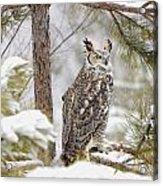 Long Eared Owl Acrylic Print
