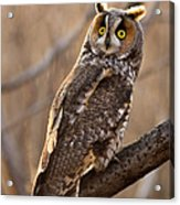 Long-eared Owl Acrylic Print