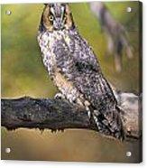 Long Eared Owl On Branch Acrylic Print