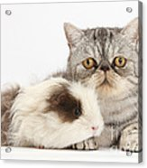 Long-haired Guinea Pig And Silver Tabby Acrylic Print