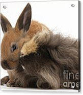 Long-haired Guinea Pig And Young Rabbit Acrylic Print