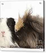 Long-haired Guinea Pigs Acrylic Print