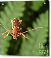 Long-horned Beetle In Flight Acrylic Print