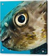 Long-spine Porcupinefish Diodon Acrylic Print