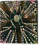 Long Spined Sea Urchin Acrylic Print