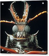 Longhorn Beetle Macrodontia Cervicornis Acrylic Print