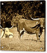 Longhorn Cows Rsting In Monochrome Acrylic Print