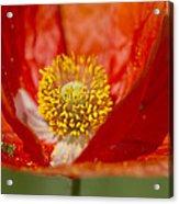 Longhorned Grasshopper Nymph On Orange Poppy Acrylic Print