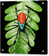 Longjawed Orb Weaver Opadometa Sp Acrylic Print