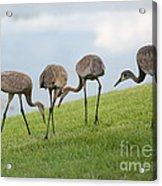 Look What I Found Acrylic Print by Carol Groenen