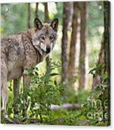 Looking Back Acrylic Print by Michael Cummings