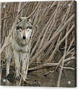 Looking Wild Acrylic Print