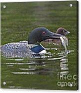 Loon Feeding Time Acrylic Print
