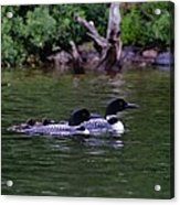 Loons With Twins 2 Acrylic Print