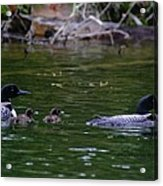 Loons With Twins Acrylic Print