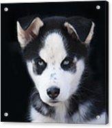 Lop Eared Siberian Husky Puppy Acrylic Print