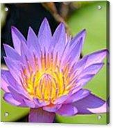 Lotus Aglow Acrylic Print