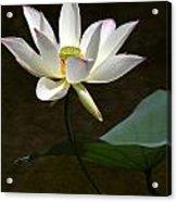 Lotus Beauty Acrylic Print