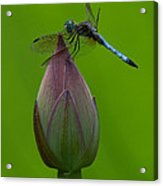 Lotus Bud And Blue Dasher Dragonfly Dl007 Acrylic Print by Gerry Gantt