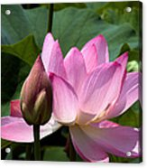 Lotus Bud--here Is How You Do It Dl065 Acrylic Print