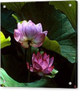 Lotus--dimensions 20h Acrylic Print
