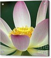 Lotus Diva Acrylic Print