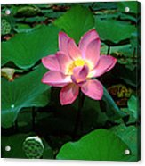 Lotus Flower And Capsule 24a Acrylic Print