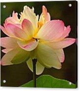 Lotus In The Dark Water Acrylic Print