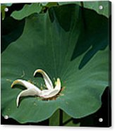 Lotus Leaf--castoff IIi Dl060 Acrylic Print