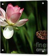 Lotus Opening To The Sun Acrylic Print