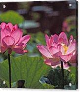Lotus Pair 24m Acrylic Print