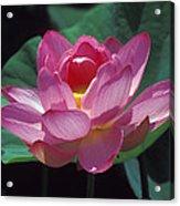 Lotus--secrets Within 24k Acrylic Print