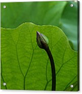Lotus-sheltering The Future Dl032 Acrylic Print
